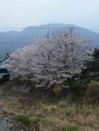 Sakura130330_2