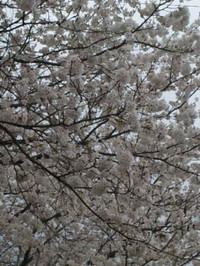 Sakura2130330